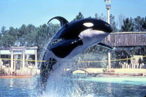 These magnificent animals are disciplined and their food is withheld if they don't perform silly tricks at SeaWorld. In the wild, orcas swim as much as two hundred miles a day. At SeaWorld they are confined 18 hours a day in concrete pens so small they cant move. Disgusting!