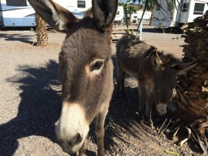 These burros are very friendly.