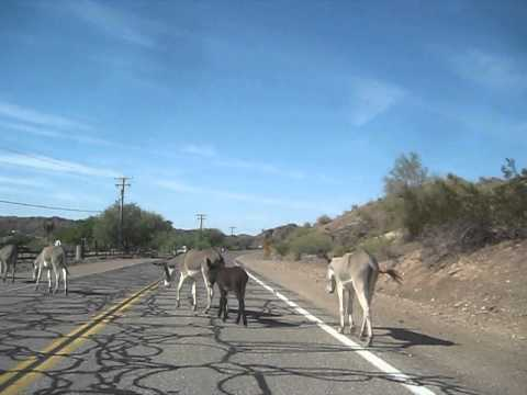 These guys pretty much just hang around on the road 'til you feed them an apple or a carrot.