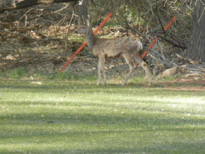 Deer at the picnic area.